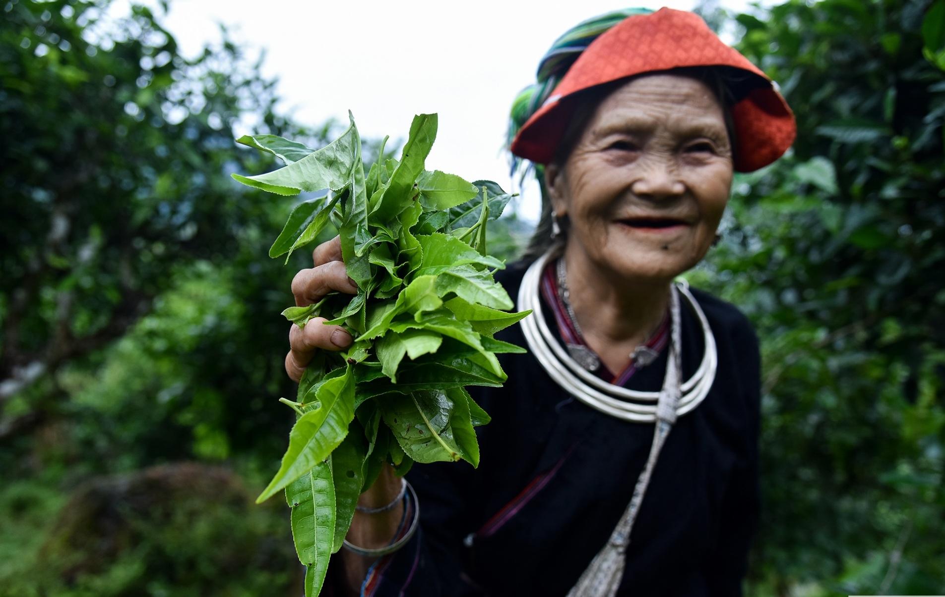 Trà shan tuyết sáu không Hoàng Su Phì có búp to, phủ nhiều lông tơ trắng muốt và chứa nhiều chất dinh dưỡng