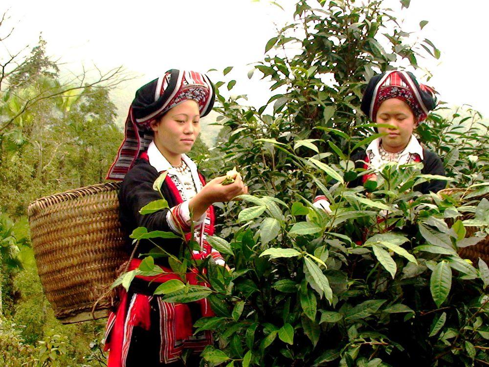 Sống trong điều kiện khác nghiệt nên sản lượng trà tiên rất khan hiếm