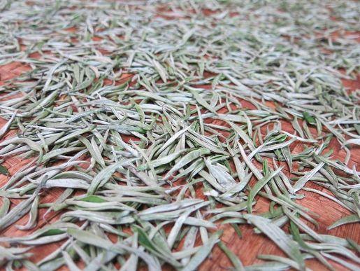 Búp chè phủ nhiều lông mao trắng như tuyết